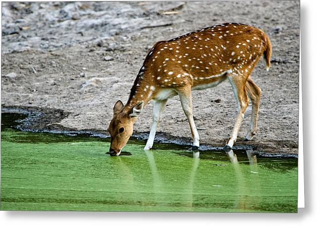 Deer Watering In The Lake Greeting Cards - Spotted Deer Axis Axis Drinking Water Greeting Card by Panoramic Images