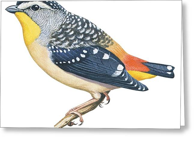 Zoology Greeting Cards - Spotted diamondbird Greeting Card by Anonymous