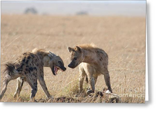 Hierarchy Greeting Cards - Spotted Hyenas At Wildebeest Kill Greeting Card by Gregory G. Dimijian, M.D.