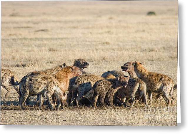 Reserve Greeting Cards - Spotted Hyenas Crocuta Crocuta At Kill Greeting Card by Gregory G. Dimijian, M.D.