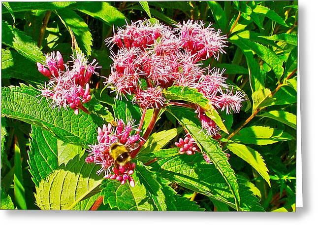 Pond In Park Greeting Cards - Bumble Bee on Spotted Jpe-Pye Weed on Trail to Western Brook Pond in Gros Morne National Park-Newfoundland  Greeting Card by Ruth Hager