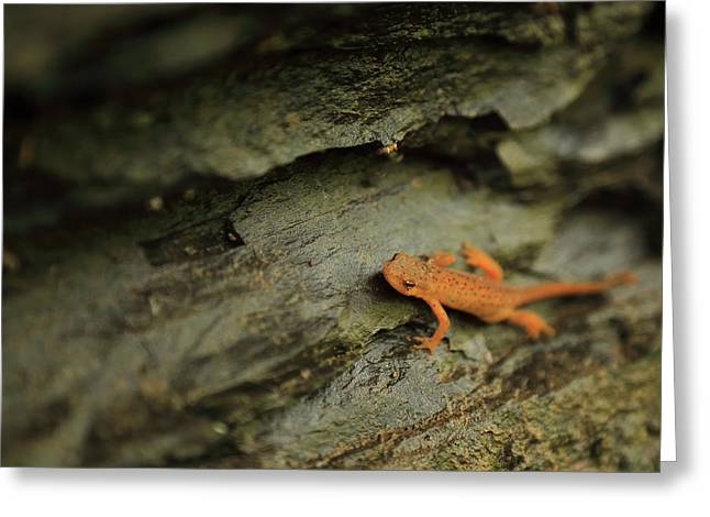 Arkansas Greeting Cards - Spotted Newt - MP0027 Greeting Card by Matthew Parks