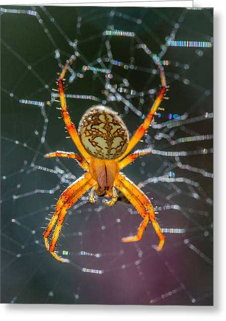 Translucence Greeting Cards - Spotted Orbweaver Spider in Sparkling Web Greeting Card by Steven Schwartzman