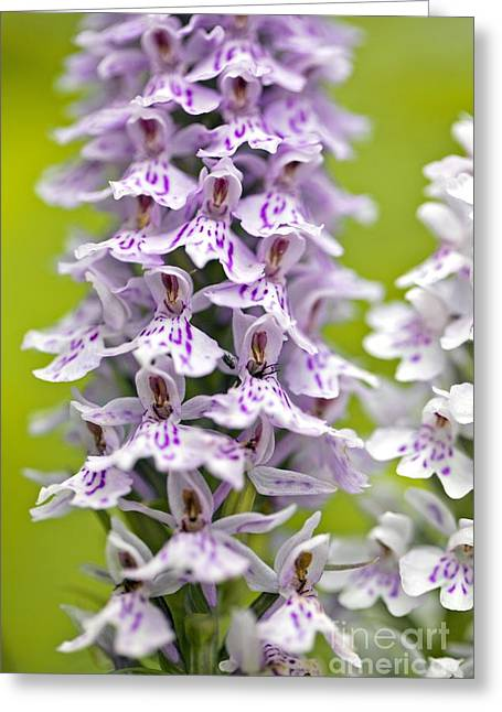 Purple. Wild Orchid Greeting Cards - Spotted Orchid (dactylorhiza Fuchsii) Greeting Card by Dr Keith Wheeler