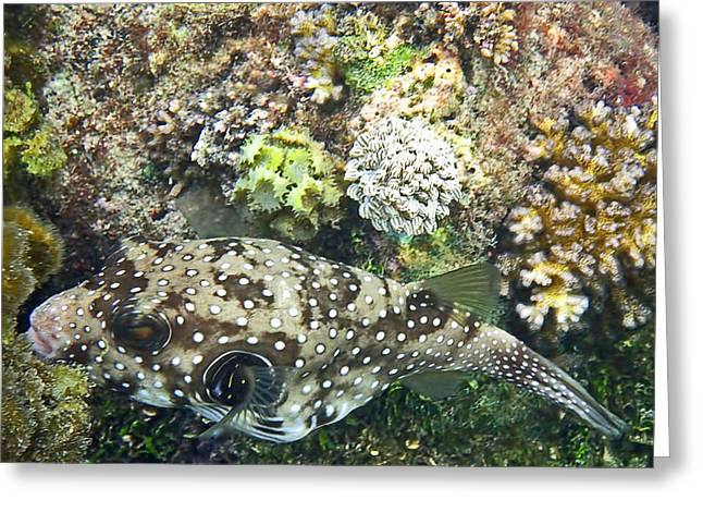 Green Spotted Puffer Fish Greeting Cards - Spotted Greeting Card by Pete Marchetto