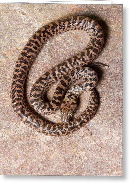 Greeting Card featuring the photograph Spotted Python Antaresia Maculosa Top by David Kenny