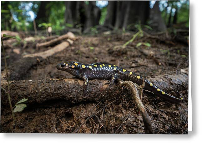 Spotted Salamander (ambystoma Maculatum Greeting Card by Pete Oxford