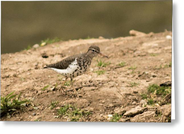 West Fork Greeting Cards - Spotted Sandpiper Greeting Card by Howard Tenke