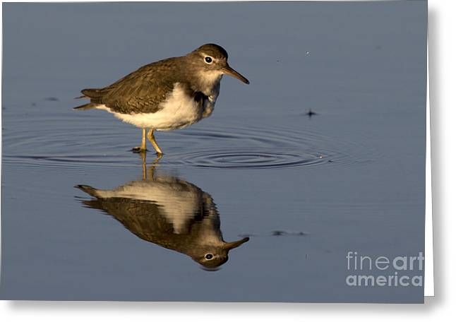 Print Photographs Greeting Cards - Spotted Sandpiper Reflection Greeting Card by Meg Rousher