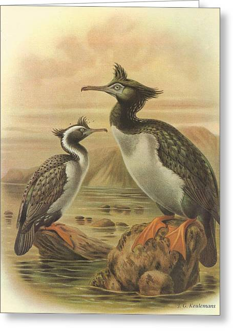 Spots Greeting Cards - Spotted Shag and Pitt Island Shag Greeting Card by J G Keulemans