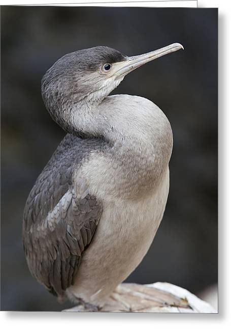 Sea Birds Greeting Cards - Spotted shag Greeting Card by Science Photo Library