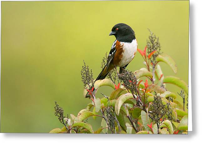 Brown Towhee Greeting Cards - Spotted Towhee Greeting Card by Ram Vasudev