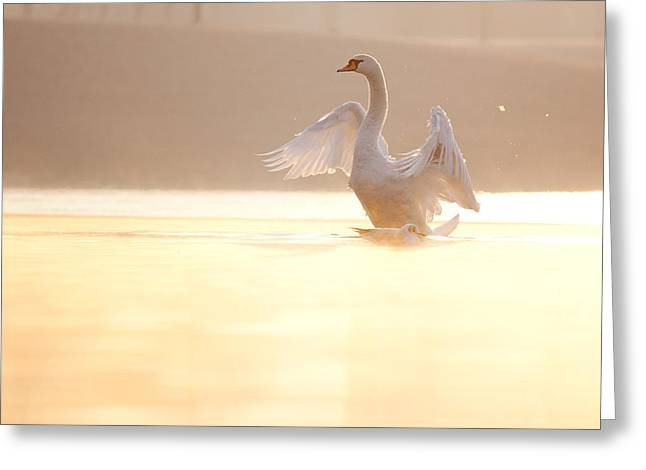 Swans... Greeting Cards - Spread Your Wings Greeting Card by Daniel Zrno