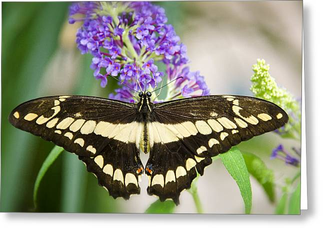 Papilio Thoas Greeting Cards - Spread Your Wings My Little Butterfly  Greeting Card by Saija  Lehtonen