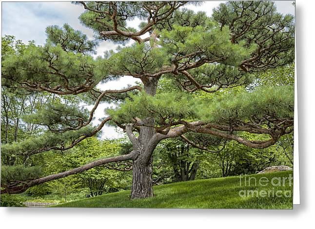 """spreading Tree"" Greeting Cards - Spreading Greeting Card by Timothy Johnson"