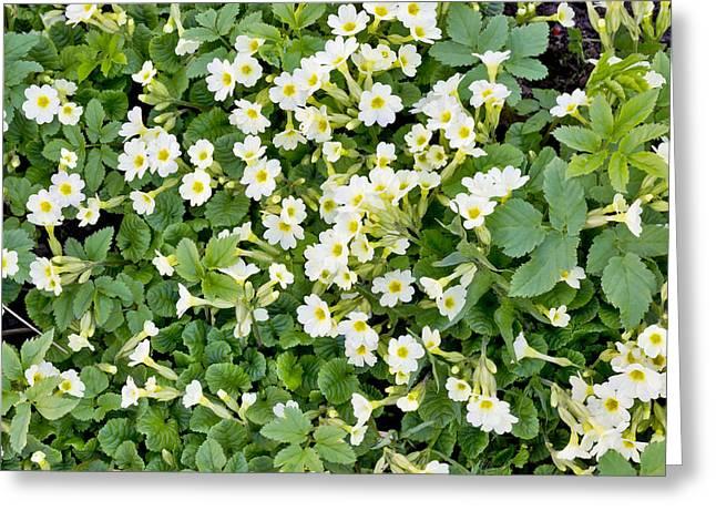 Flower Express Greeting Cards - Spring background Greeting Card by Aleksandr Volkov