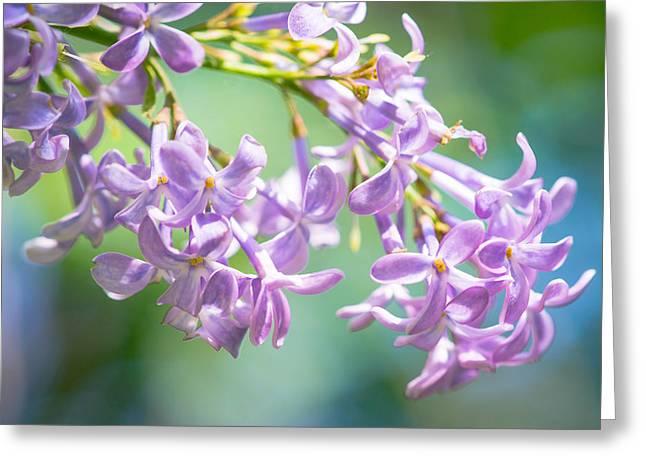Oleaceae Greeting Cards - Spring Beauty Greeting Card by Alexander Senin