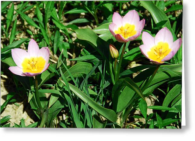 Petal Greeting Cards - Spring Crocus Greeting Card by Aimee L Maher Photography and Art