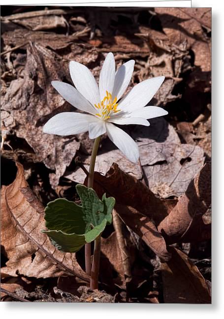 Bloodroot Greeting Cards - Spring Bloodroot Wildflower 2 Greeting Card by Lara Ellis