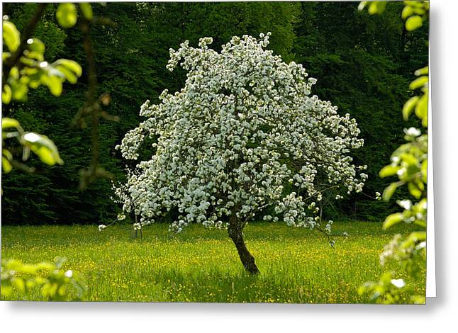Abloom Greeting Cards - Spring - blooming apple tree and green meadow Greeting Card by Matthias Hauser