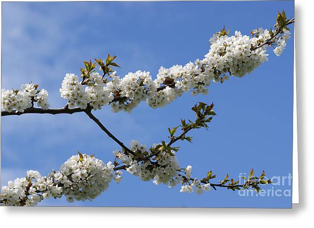 Spring Blossoms 6 Greeting Card by Carol Lynch