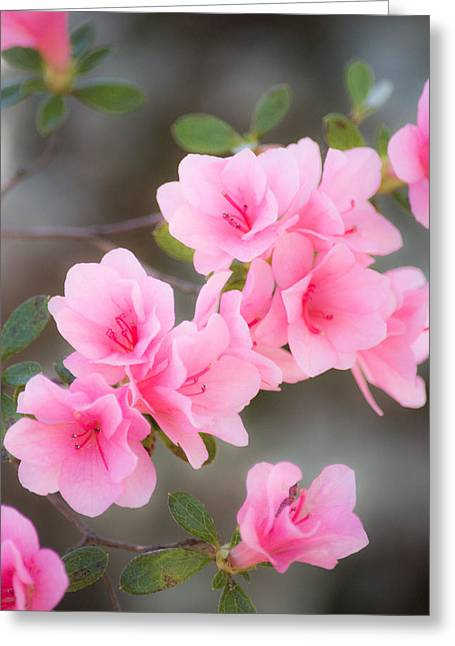 Pink Blossoms Greeting Cards - Pink Azalea Greeting Card by Parker Cunningham