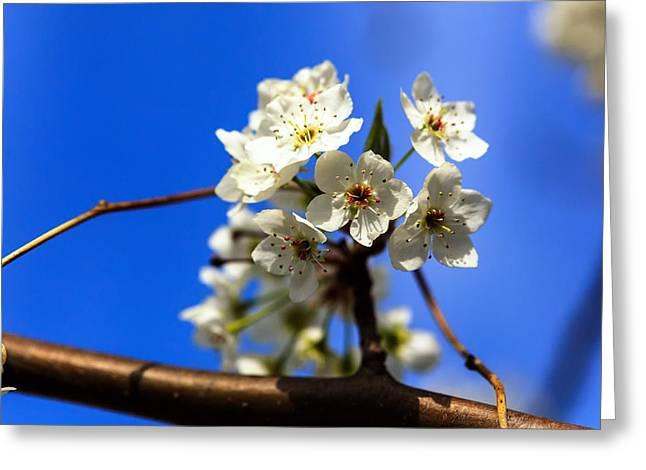 Close Focus Nature Scene Greeting Cards - Spring Blossoms Greeting Card by Sennie Pierson