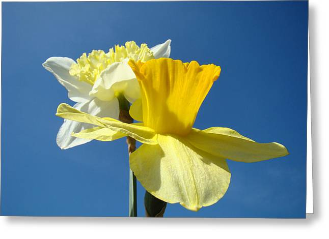 Art Heals Greeting Cards - Spring Blue Sky Yellow Daffodil Flowers art prints Greeting Card by Baslee Troutman