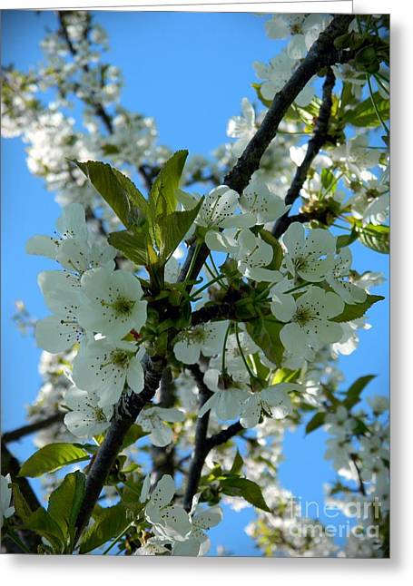 Neurotic Images Photography Greeting Cards - Spring Cherry Blossoms 2 Greeting Card by Chalet Roome-Rigdon