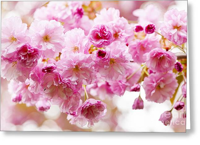 Pink Flower Branch Photographs Greeting Cards - Spring cherry blossoms  Greeting Card by Elena Elisseeva