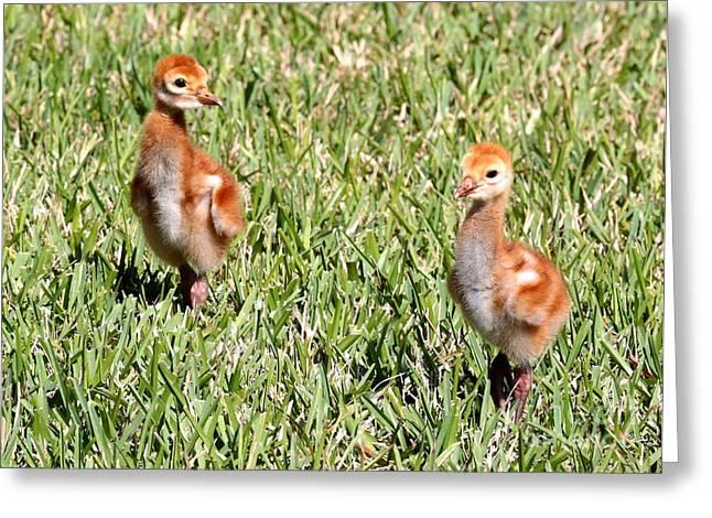 Baby Bird Greeting Cards - Spring Chicks  Greeting Card by Carol Groenen