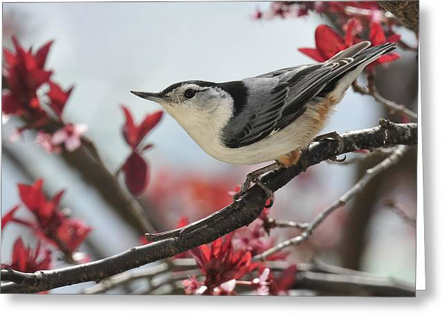 Spring Scenes Greeting Cards - Spring Colors Nuthatch Greeting Card by Lara Ellis