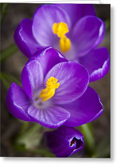 Colorful Photos Greeting Cards - Spring Crocus Greeting Card by Adam Romanowicz