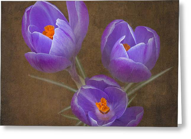 Crocus Flower Greeting Cards - Spring Crocus Greeting Card by Angie Vogel