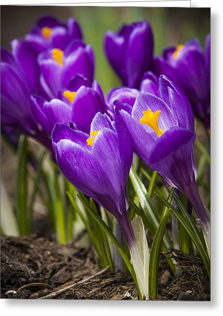 Spring Crocus Bloom Greeting Card by Adam Romanowicz