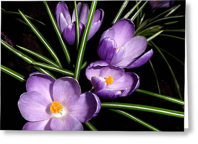 Kate Gallagher Greeting Cards - Spring Crocuses Greeting Card by Kate Gallagher