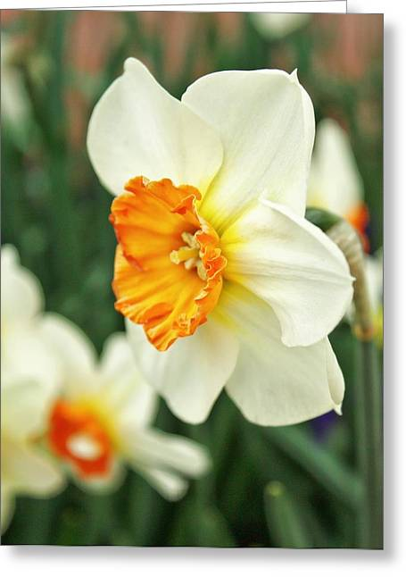 Flora Framed Prints Greeting Cards - Spring Daffodil Greeting Card by Cathie Tyler