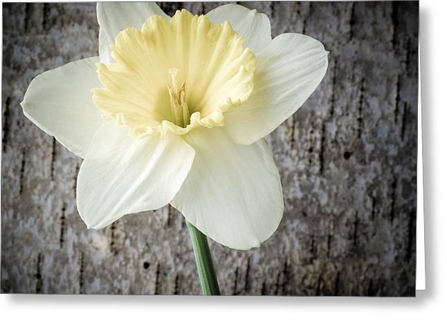 Daffodil Greeting Cards - Spring Daffodil Square Greeting Card by Edward Fielding