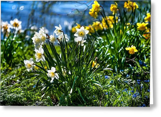 Spring Daffodils 1. Park Keukenhof Greeting Card by Jenny Rainbow