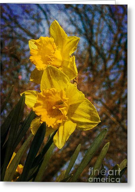 Spring Daffodils  Greeting Card by Brian Roscorla