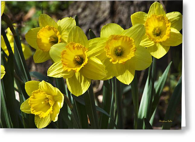 Framed Stamen Greeting Cards - Spring Daffodils Greeting Card by Christina Rollo