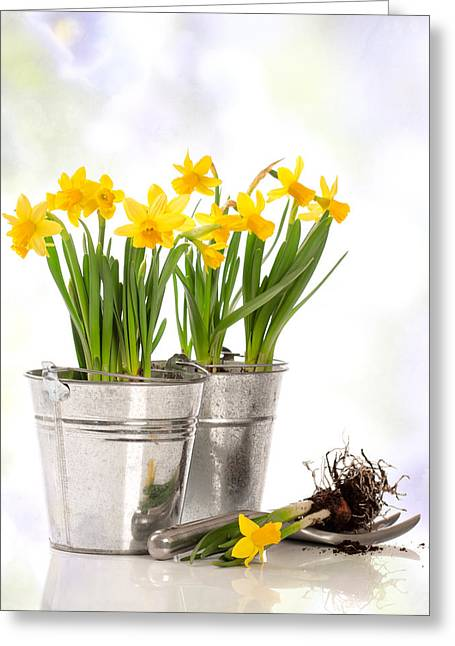 Gardening Tools Greeting Cards - Spring Daffodils Greeting Card by Amanda And Christopher Elwell