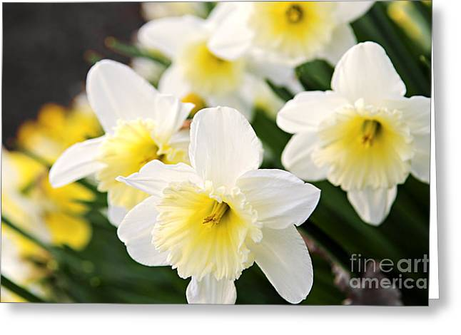 Daffodils Greeting Cards - Spring Daffodils Greeting Card by Elena Elisseeva