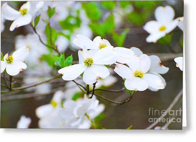 Dogwood Silhouette Greeting Cards - Spring Dogwoods Greeting Card by Stuart Mcdaniel