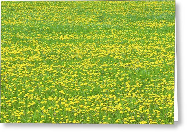 Blooms Greeting Cards - Spring Farm Panorama With Dandelion Bloom in Maine Canvas Poster Print Greeting Card by Keith Webber Jr