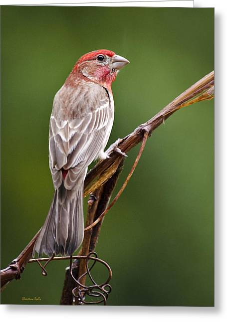 House Finch Greeting Cards - Spring Finch Greeting Card by Christina Rollo