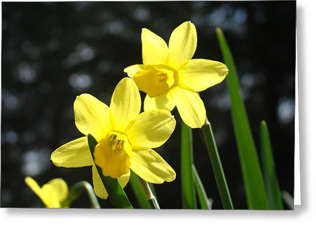 Spring Floral art prints Glowing Daffodils Flowers Greeting Card by Baslee Troutman Fine Art Photography