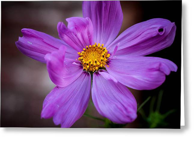 Violett Greeting Cards - Cosmo Spring Flower Horizontal Greeting Card by Connie Cooper-Edwards