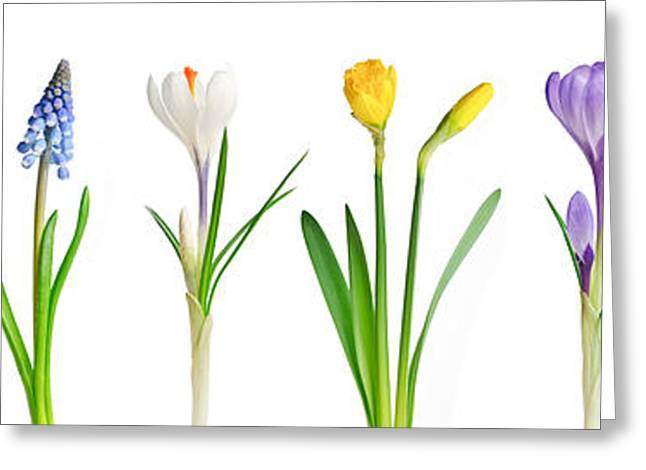 Crocus Greeting Cards - Spring flowers  Greeting Card by Elena Elisseeva