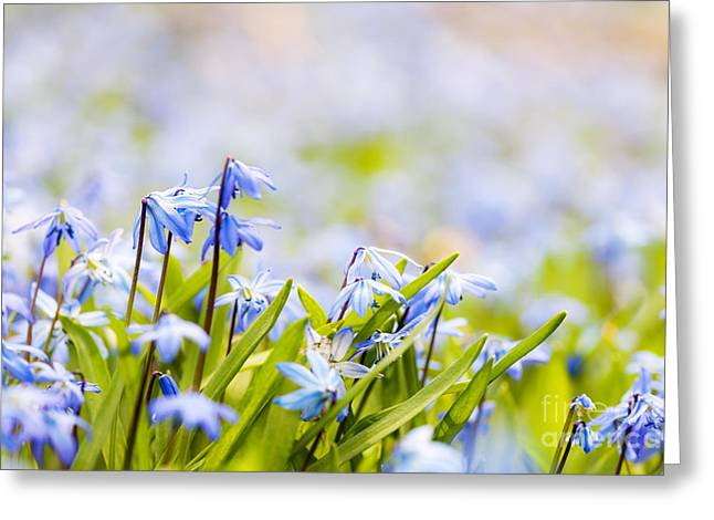 Early Spring Greeting Cards - Spring flowers  Greeting Card by Elena Elisseeva